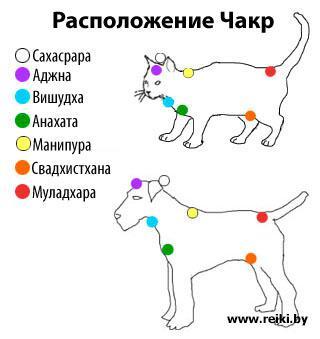 Расположение чакр у котов и собак
